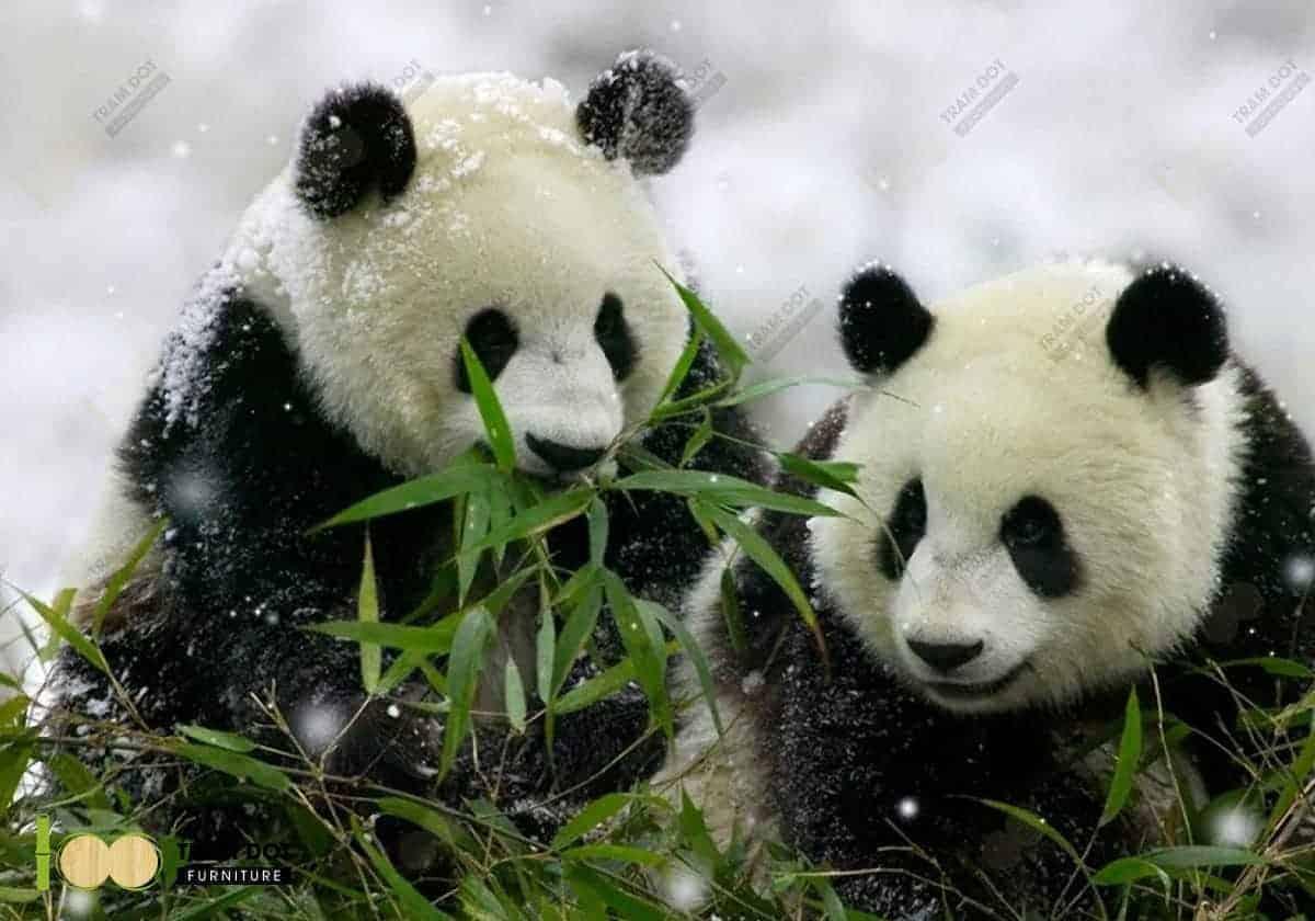 Lá tre là món ăn yêu thích của gấu Panda