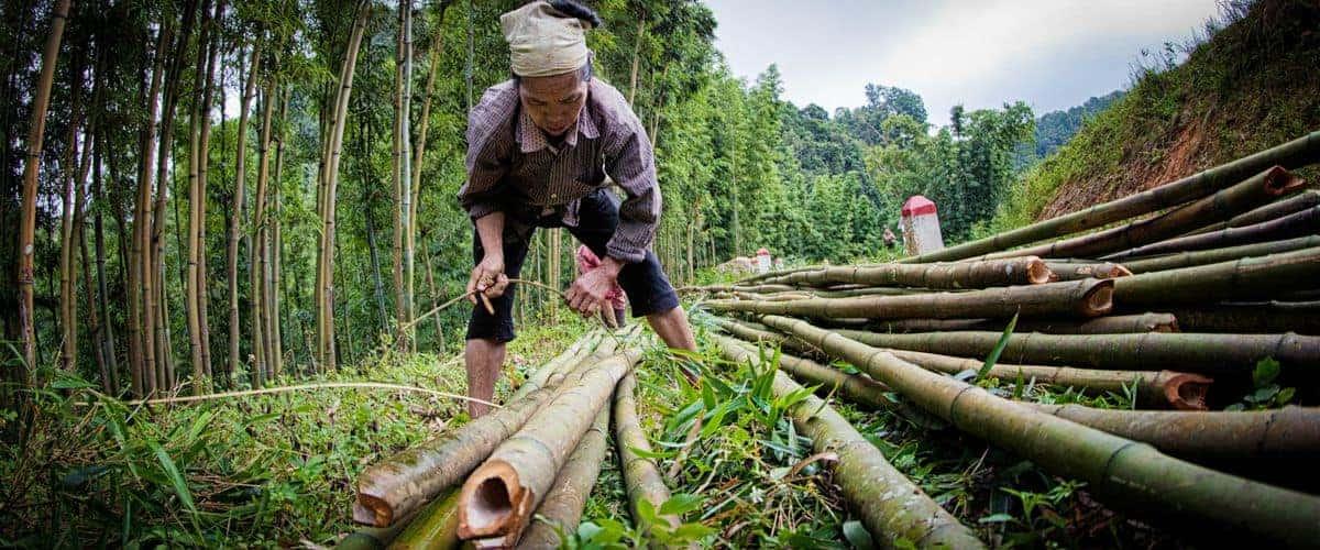 TRAMDOT | Cây tre Việt làm nguyên liệu sản xuất tấm tre ép